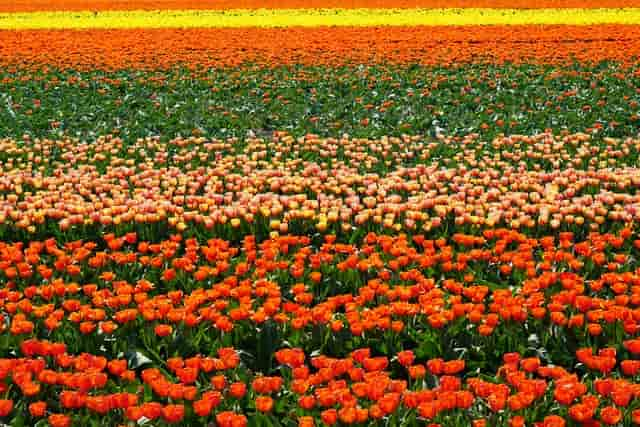 Nizozemské pole tulipánů