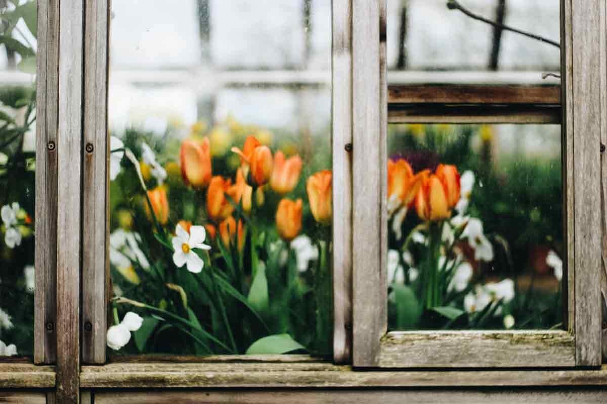 Tulipány za oknem
